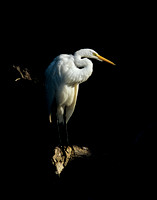Assateague Egret