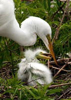 Great Egrets: Mother and Chick