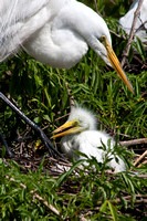 Egret and Baby